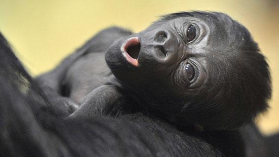 Budapest's Baby Gorilla