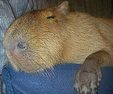 Largest Pet Rodent in the World Is Caplin Rous