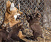 Maned Wolves From South America