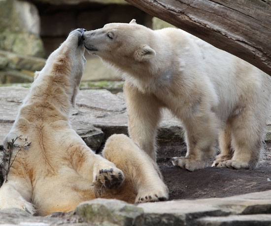 Knut and Giovanna: More of the Lovebirds, Errr, I Mean Bears