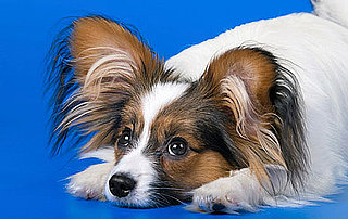 All About the Papillon
