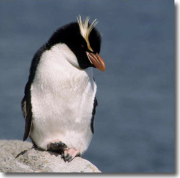 Do penguins have feathers - photo#9