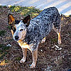 Pictures of Herding Group Dogs