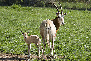 Pictures of Scimitar-Horned Oryx