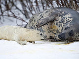 Gray seal pups are born with fuzzy, white pup fur. After about a month guzzling its mother's high-fat milk, it will grow waterproof adult fur and jump into the ocean to learn to catch its own food.