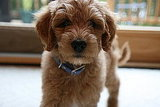 Pictures of a Goldendoodle