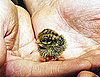 Pictures of a Baby Quail