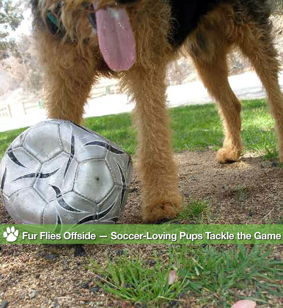 Pictures of Dogs Playing Soccer