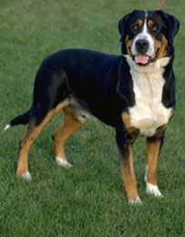 What Do You Know About Greater Swiss Mountain Dogs?