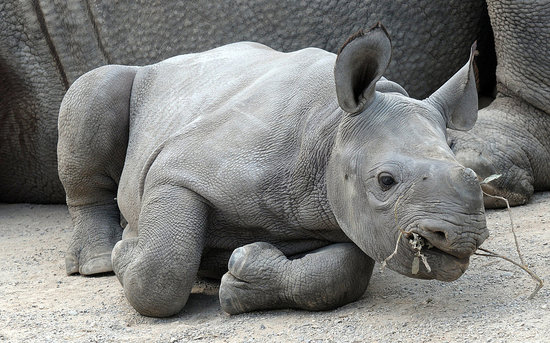Welcome Baby Kiwidi With Bizarre Black Rhino Facts