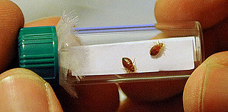 Facts About Bed Bugs and Kids