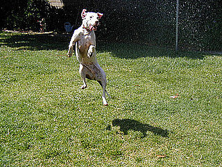 Picture of a Dog in Sprinkler