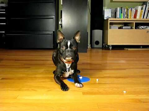 Bruce the Boston Terrier Videos