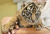 Baby, Baby Tiger