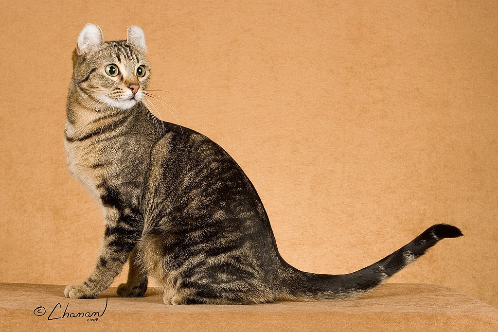 New York City's Cat: American Curl