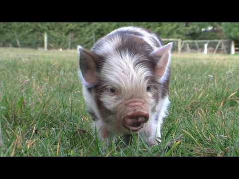 Video of Kunekune Pigs