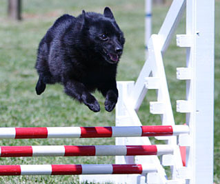Schipperke Breed Facts