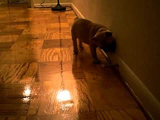 French Bulldog Attacks Doorstop Video