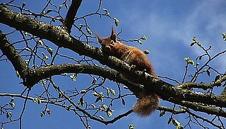 Red Female Squirrels Are Promiscuous