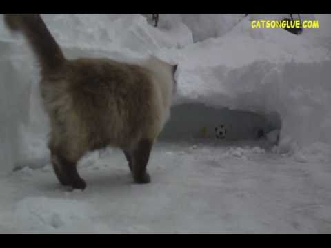 Video of Cats Playing in the Snow