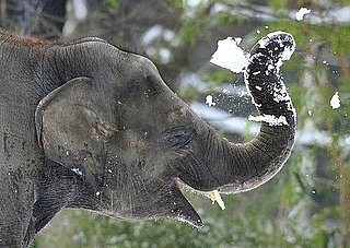 Pictures of Elephants in the Snow