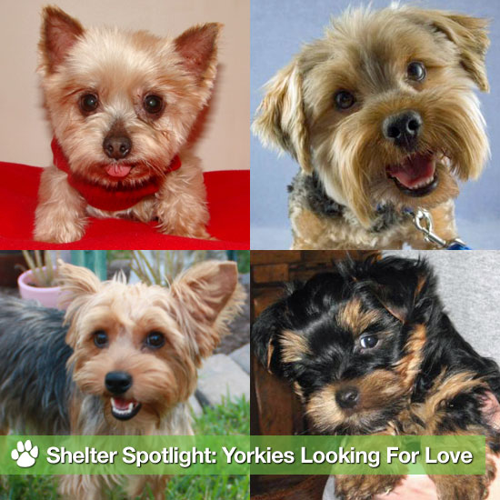 Yorkshire Terriers Looking For Love