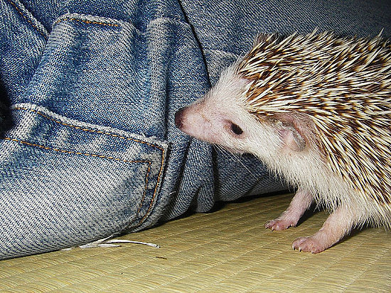 What a cute, curious hedgehog! Source: Flickr user yoppy