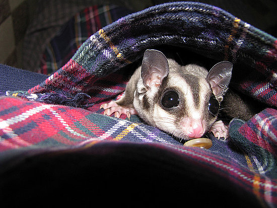 This sugar glider sure ain't your usual pet! Source: Flickr user Jason Meredith