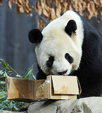 Giant Panda Enjoying a Snack