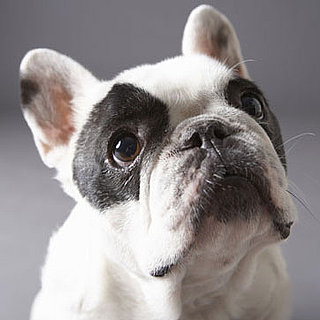 French Bulldog Trivia