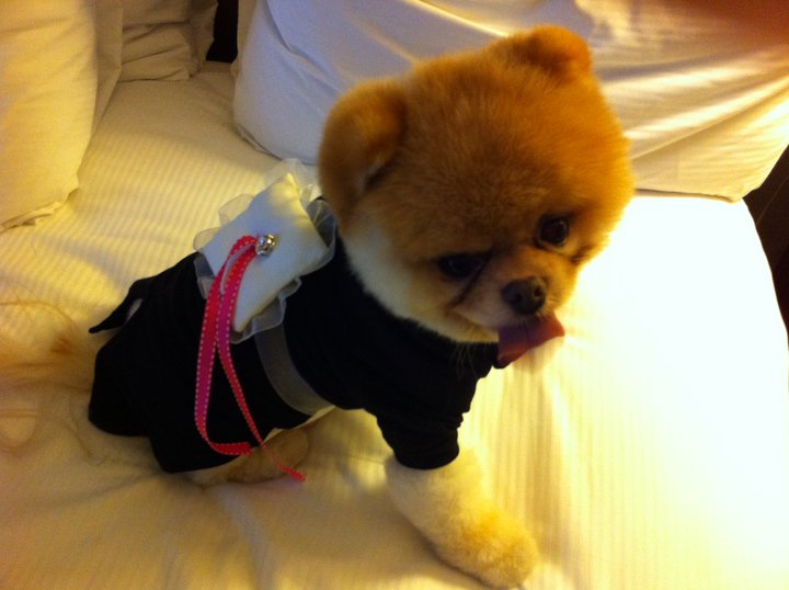 "Boo the Pomeranian looks too cute dressed as a ""ring pup."""