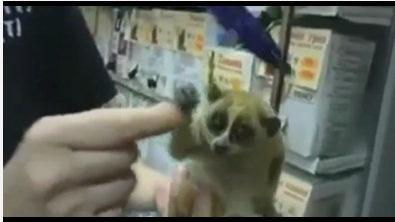 Video of Slow Loris With Umbrella