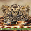 Cute Pictures of Baby Leopard Nekama
