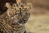 German Zoo Presents Baby Leopard Nekama