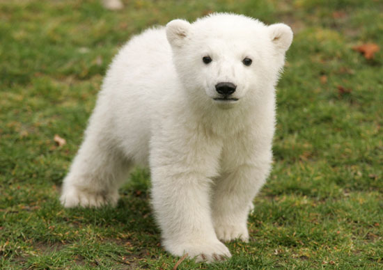 Baby Knut greets his fans for the first time at his official debut in 2007.