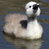 Pictures of Baby Swans