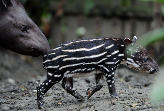 When tapirs are born, they have distinct markings, like this baby, to help camouflage them. As they grow up, the markings fade.