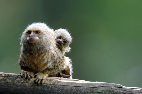 Weird and Wonderful Zoo Babies: Pygmy Marmoset