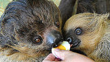 Sloths are omnivorous, eating insects, small lizards, buds, tender shoots, and leaves. And, apparently, hard-boiled eggs!