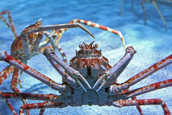 These spider crabs at the Sea Life London Aquarium enjoy a 20,000-liter habitat.