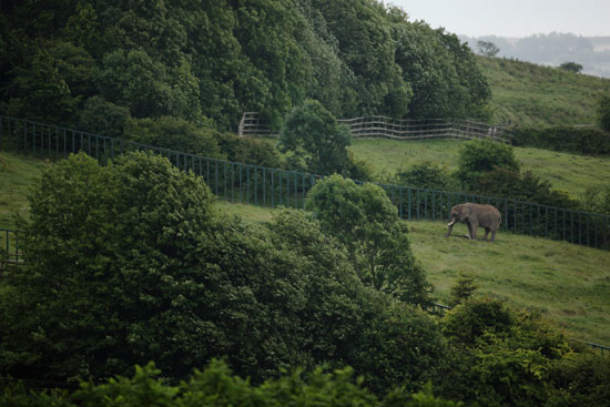 An African elephant enjoys his new backyard.