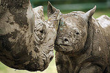 A black rhino calf stays close to his mother.