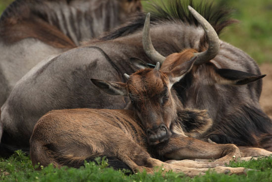 "The wildebeest got its name from the Afrikaans term for ""wild beast,"" thanks to the animal's sharp horns and fierce, shaggy mane. In reality, though, this leggy creature finds itself a frequent meal for savannah-based predators!"