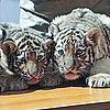 Siberian Tiger Cub Pictures