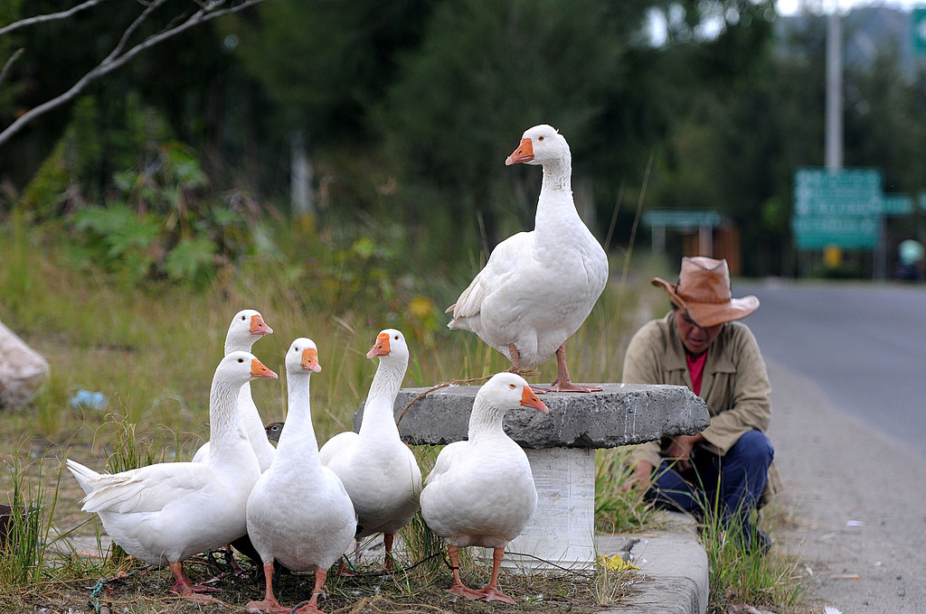 Geese For Sale