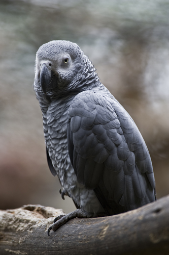 An African grey parrot at the aviary El Nido.