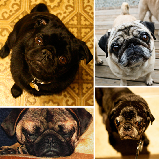 Cute Alert: Pretty Little Pugs