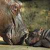 Baby Hippo Pictures