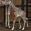 Pictures of a Baby Giraffe