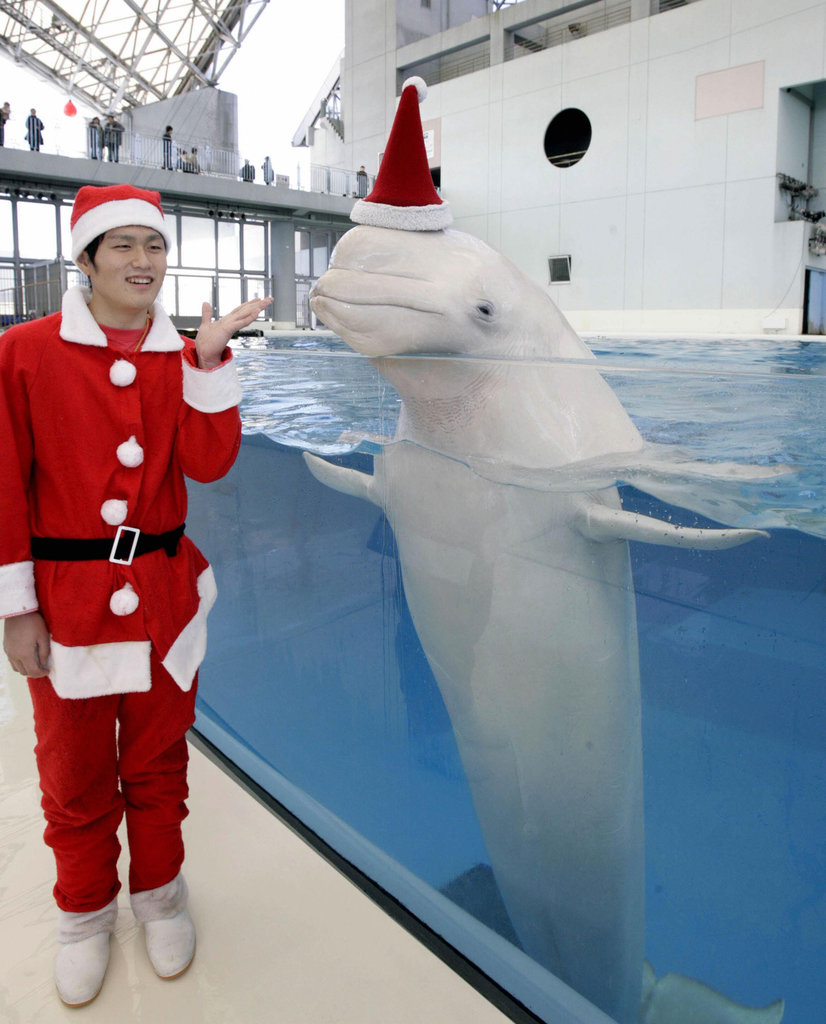 Santa says hello to the beluga whale.